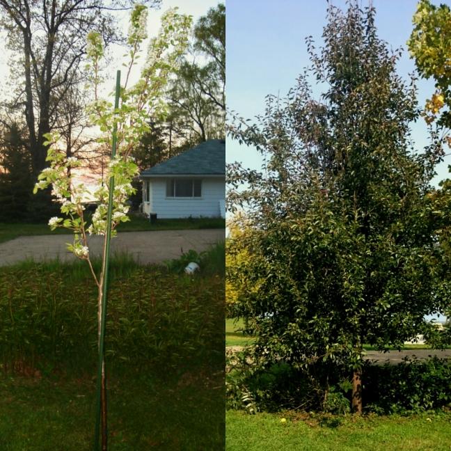 Bartlett pear tree growth